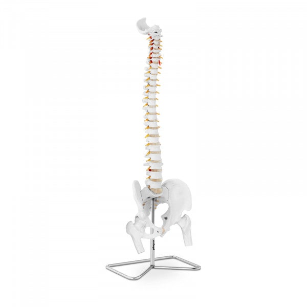 Spine Model with Pelvis PHY-SM-1