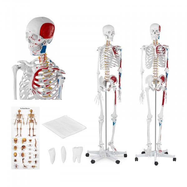Skeleton Model PHY-SK-2 - Life-sized