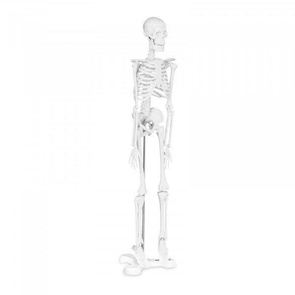 Miniature Skeleton PHY-SK-6 - 1:4 scale
