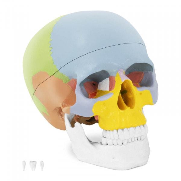 Skull Model - colourful