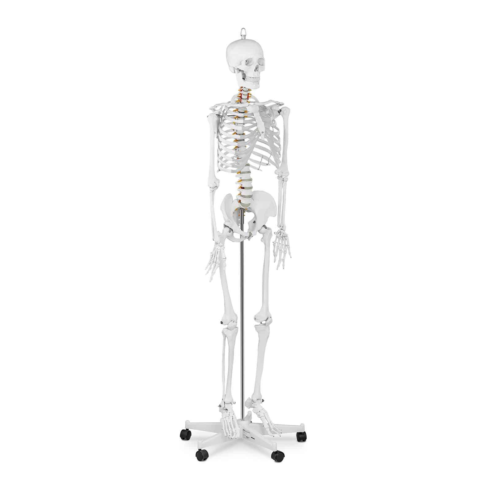 Anatomy Models