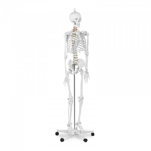 Skeleton Model PHY-SK-1 - Life-sized